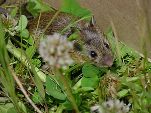 Prebles jumping mouse